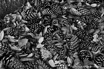 Pine Cone Gathering