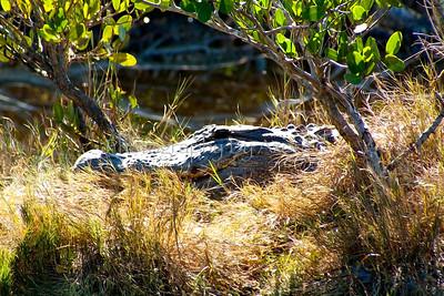 Gator Island