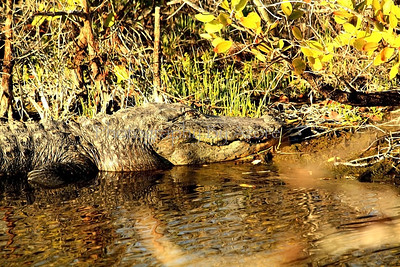 Sleeping BeautyAlligator sitting next to the bank sunning its self, on the MT Dora Canal.