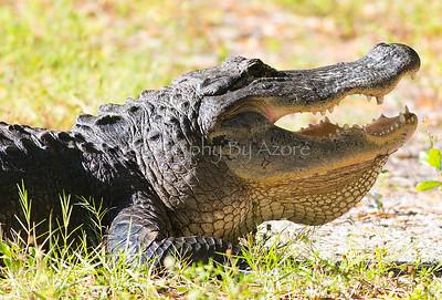 ~ Florid Gators ~  For The Love Of Viatime D