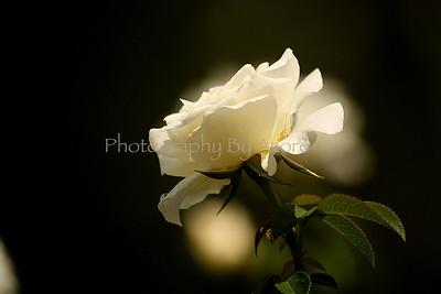White Rosery