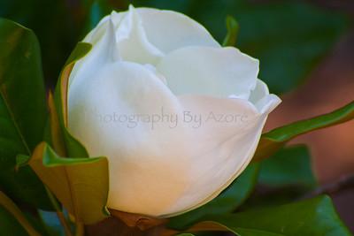 ~ Flowers~ White Magnolia