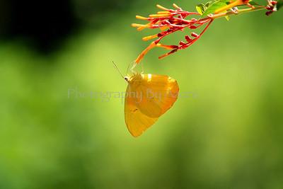 Coliadinae