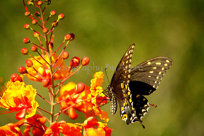 Swallowtails Butter