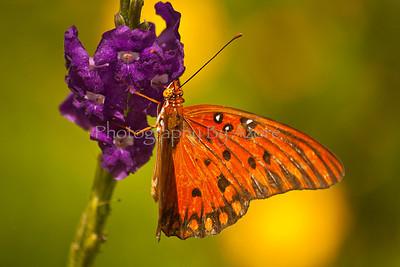 Loving My Nectar (Gulf Fritillary,  Agraulis vanillae)