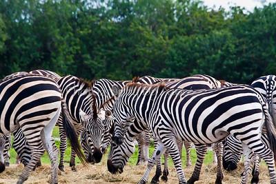 Zebra Hurd