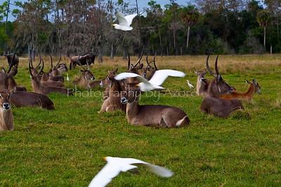 Antelope Hurd