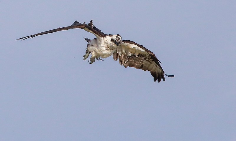 The Osprey aborted a steep dive and pulled up quickly creating a stall in the air flow. The feathers returned to normal in an instant.