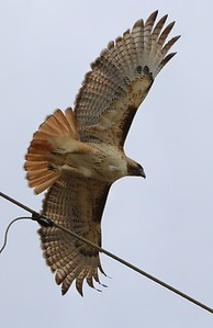 Southwestern Red-tailed Hawk