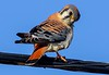zz1-7-17 Kestrels 305D cropped small