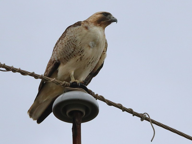 Mature Southwestern adult Red-tailed Hawk