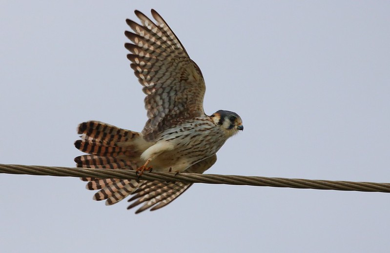zz1-15-17 Galveston 598C Kestrel-598