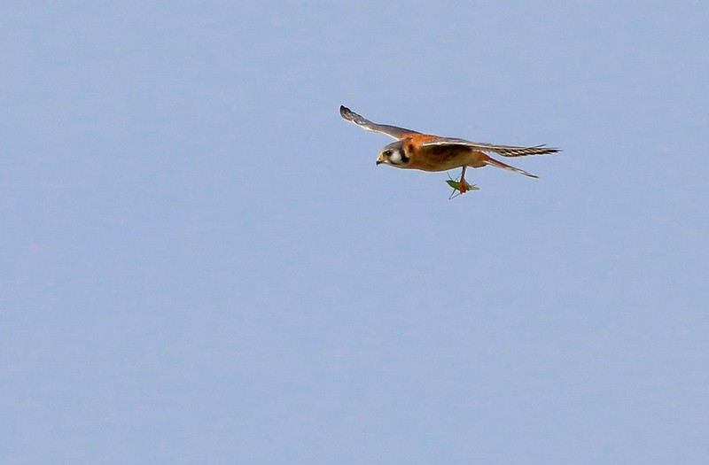Male Kestrels have the bluish gray wings while the female wings are brown patterned.