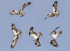 A composite sequence of the Osprey starting a dive. Images #045 through #049 at 5 fps.