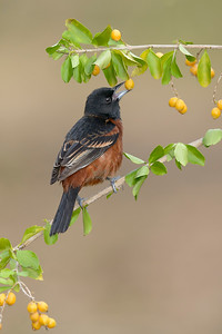Orchard Oriole Galveston TX