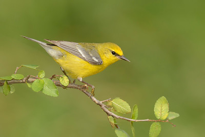 Blue-winged Warbler Galveston TX