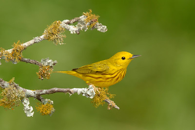 Yellow Warbler Galveston TX