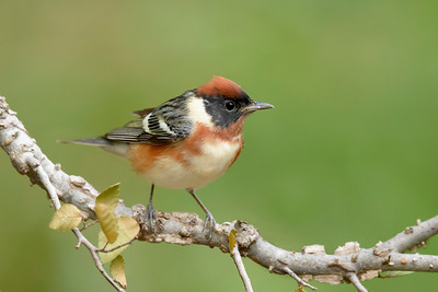 Bay-breaste Warbler Galveston TX