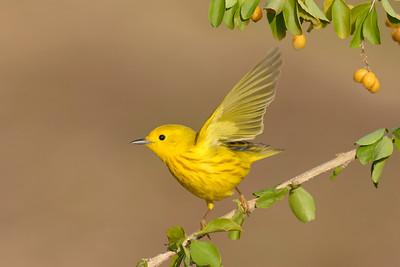 Yellow Warbler Galveston TX