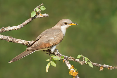 Yellow-billed Cuckoo Galveston TX