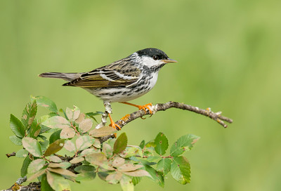 Blackpoll Warbler Galveston TX