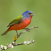 Painted Bunting<br /> Galveston TX