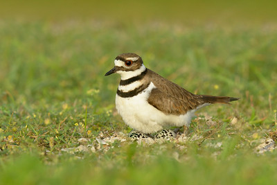 Killdeer Galveston TX