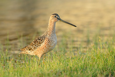 Short-billed Dowitcher Galveston TX