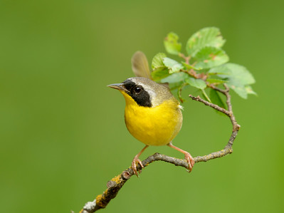 Common Yellowthroat Galveston TX