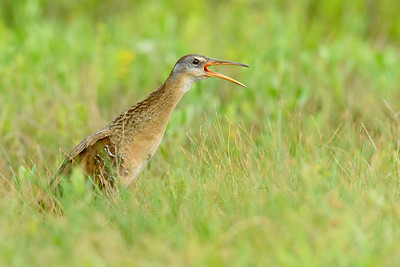 Clapper Rail Galveston TX