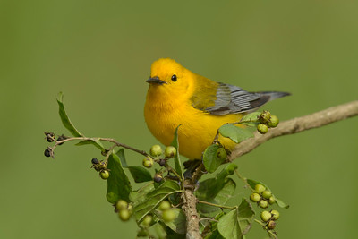 Prothonotary Warbler Galveston TX