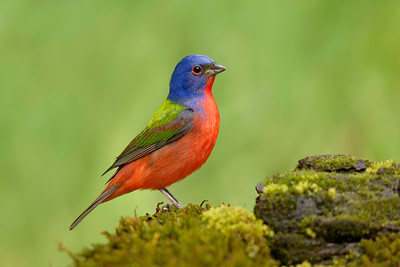 Painted Bunting Galveston TX