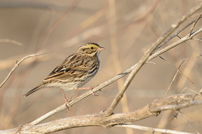 Savannah Sparrow Galveston TX