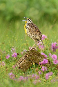 Eastern Meadowlark Galveston TX