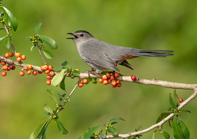 Gray Catbird Galveston TX