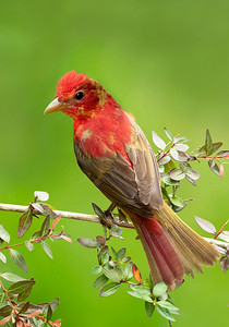 Summer Tanager Young Male Galveston, TX