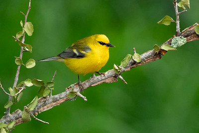 Blue-winged Warbler Galveston, TX