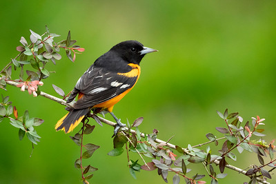 Baltimore Oriole Galveston, TX