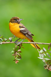 Baltimore Oriole Young Male Galveston TX