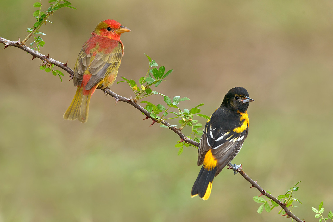 Immature Summer Tanager and Immature Baltimore Oriole Galveston, TX