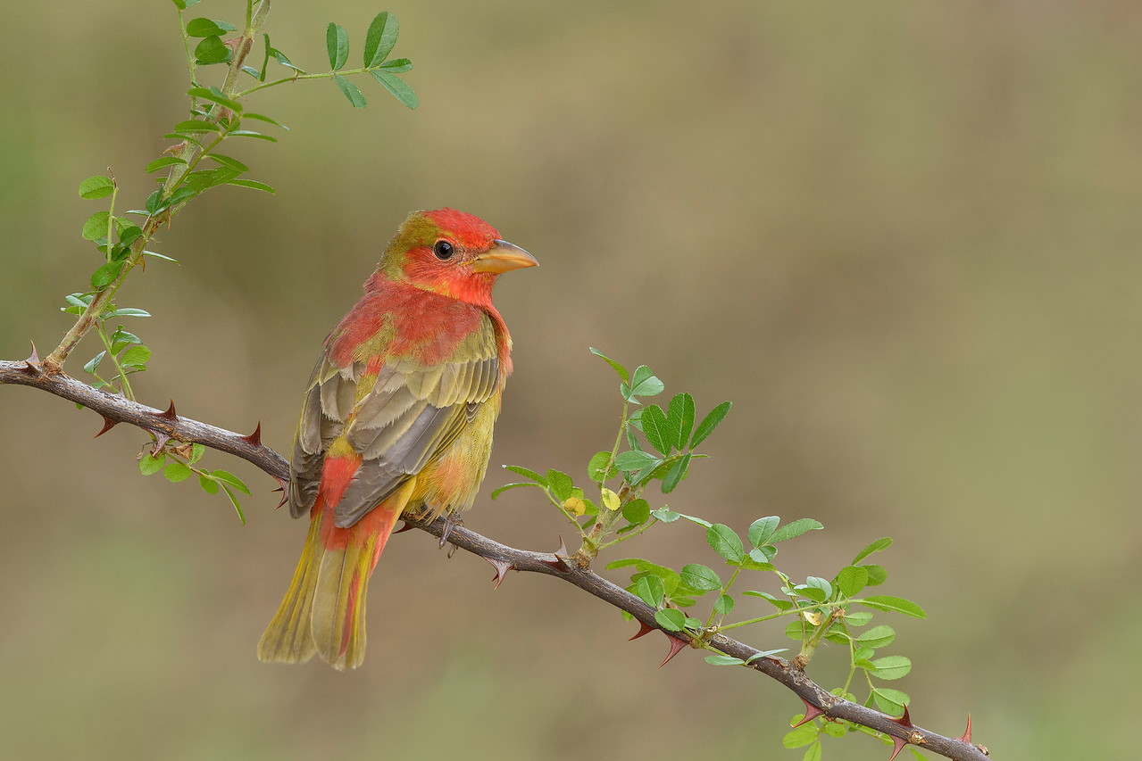 Summer Tanager-Young male Galveston, TX