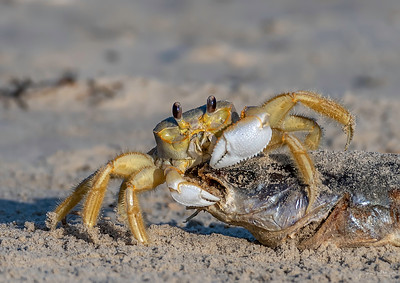 Ghost Crab with breakfast!