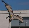 aaGalveston 3-3-2017 Pelicans 1025A, Dive 3