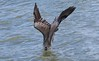 Brown Pelican enters water. The last few feet of the plunge were fast and hard to follow unless I backed off the zoom.