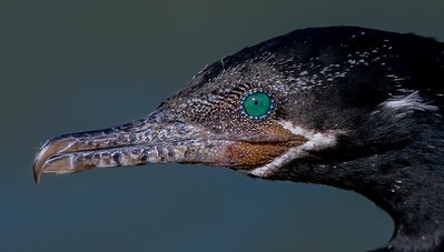 Cormorant close up.