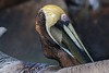 This pelican tried to swallow a fish but was having no luck.