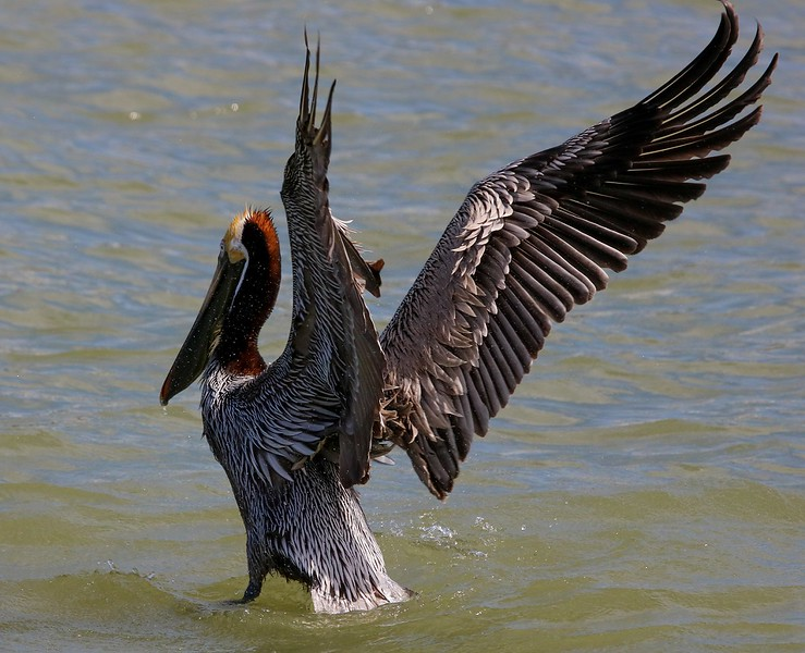 Brown Pelican wing flap.