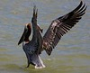 Brown Pelican wing flap.