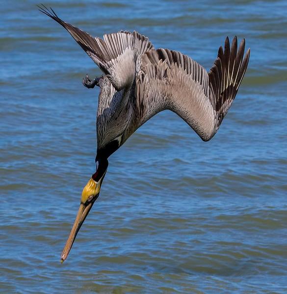 aaGalveston 3-3-2017 Pelicans 1330A