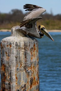 Brown Pelican as it leaves its perch.